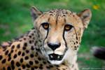 Sunny cheetah