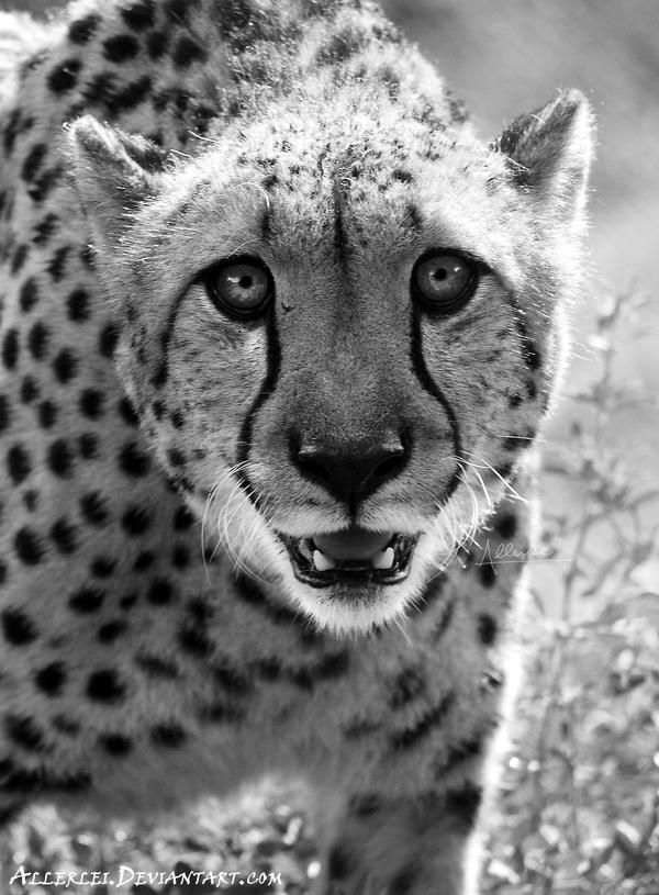 Happy International Cheetah Day, everyone! by Allerlei