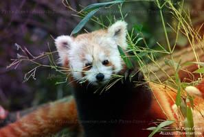 Pandaaaaa is hungry by Allerlei