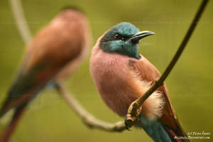 The Northern carmine bee-eater by Allerlei