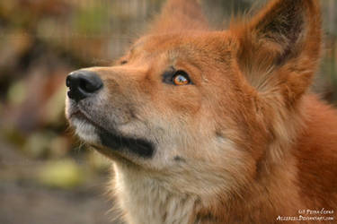 Dreaming dingo by Allerlei