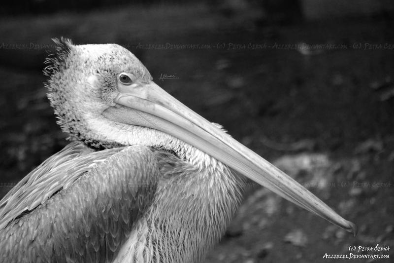 Pelican by Allerlei