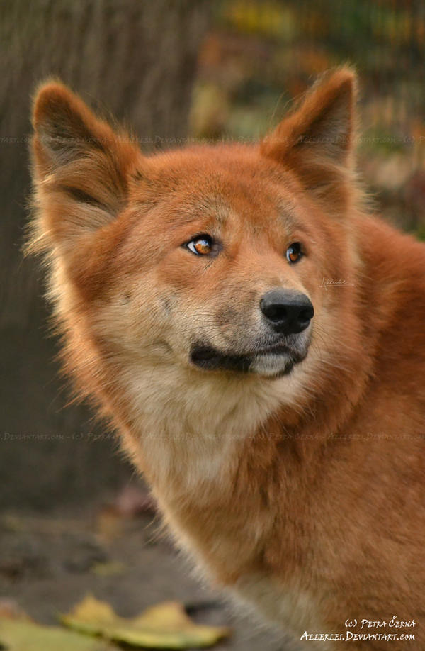How Did Dingos Travel To A New Habitat