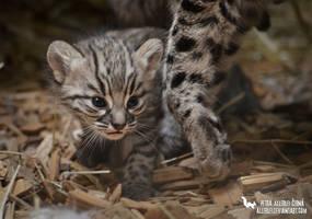 Leopardus geoffroyi by Allerlei