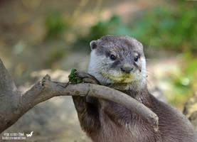 Pretty otter by Allerlei