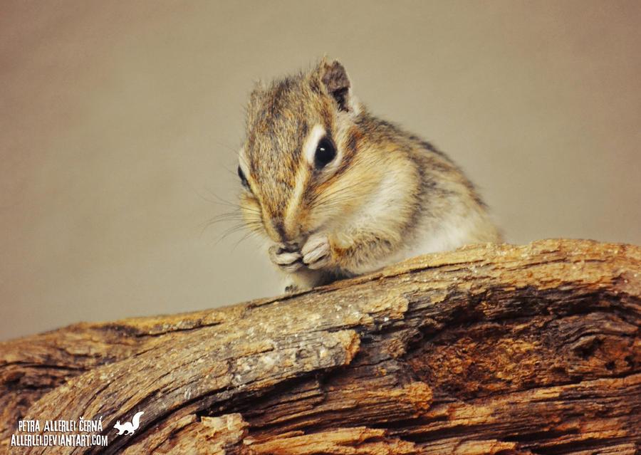 The Siberian chipmunk by Allerlei