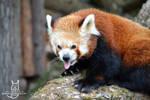 Happy international red panda day!