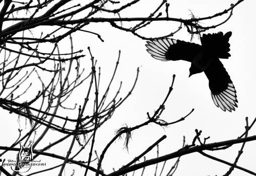 Fly, magpie, fly...