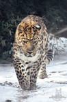 Prowling on snow