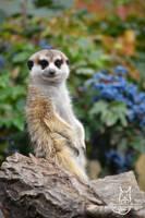 Meerkat in blue by Allerlei
