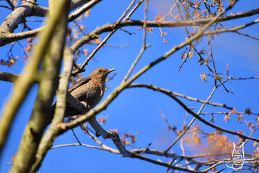 The Song thrush