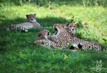Cheetah family by Allerlei