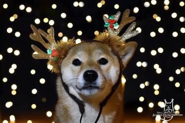 Shiba, or reindeer?