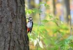 Wild Great Spotted Woodpecker by Allerlei
