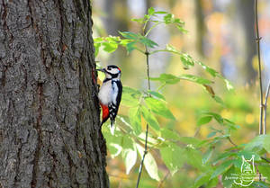 Wild Great Spotted Woodpecker