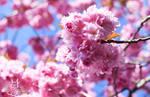 A cherry blossom by Allerlei