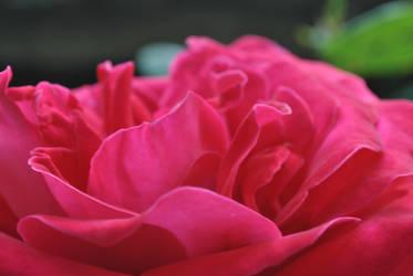 Rose by Sumanoske