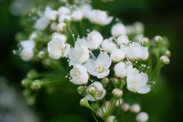 White flowers by tpenttil