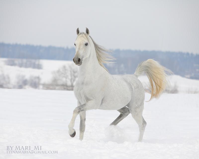 white arabian by mari-mi on DeviantArt