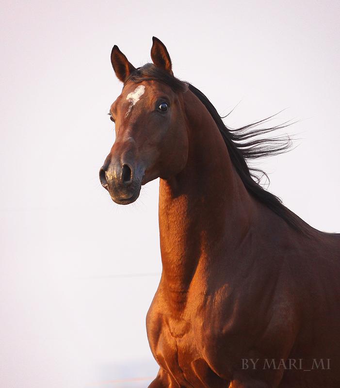 Arab horse portrait by mari-mi