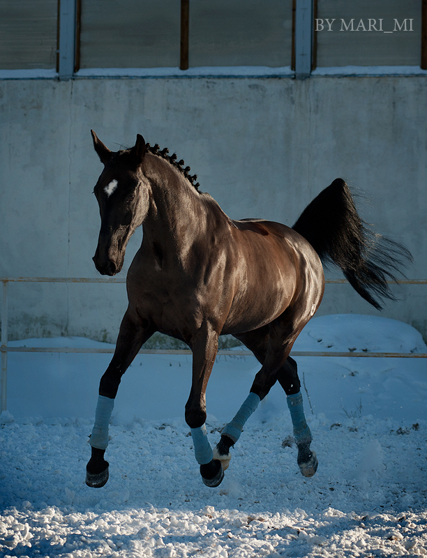 dressage horse by mari-mi