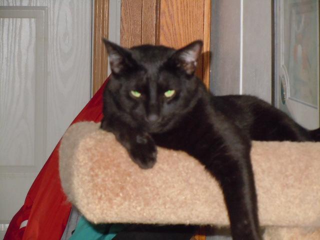 Mis Gatos! (My cats) Salem_by_leopardfire_prod-d323si3