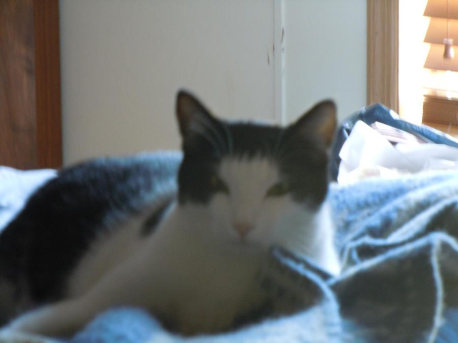 Mis Gatos! (My cats) Kody_by_leopardfire_prod-d323st7