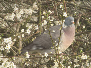 Pigeon in plum blossom