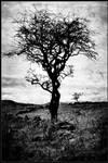 ayrshire tree