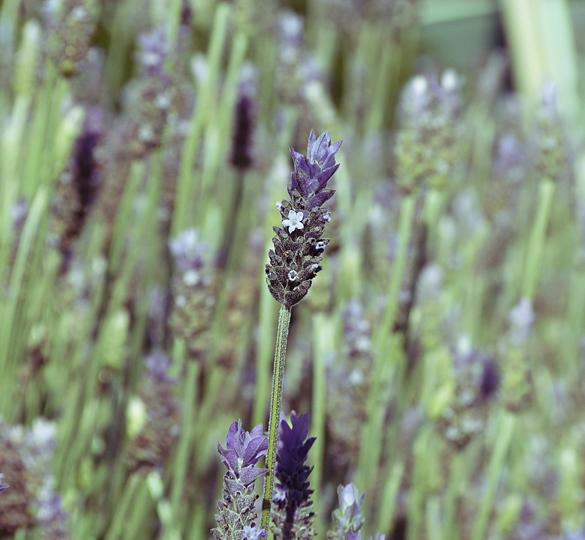 Special Lavender by Meixsz