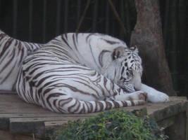 White Tiger by LadyTaurus95