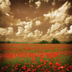 An old summer in poppyland