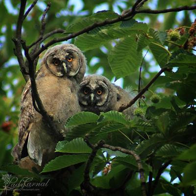 Owlets by LadyCarnal