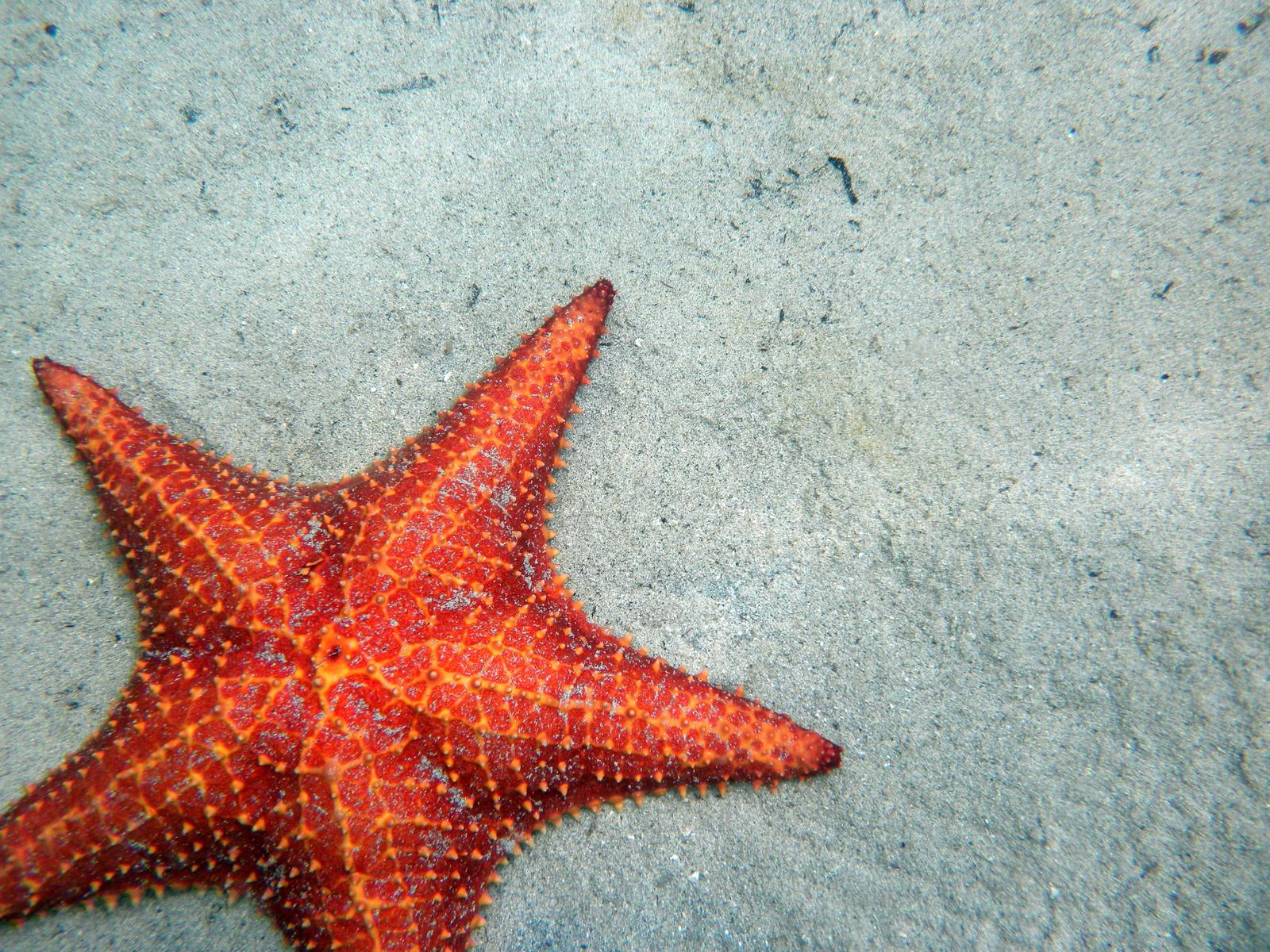 Starfish - The Animal Kingdom