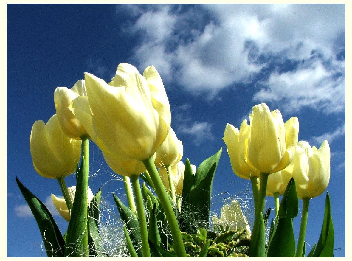 Tulipany by mdata on DeviantArt