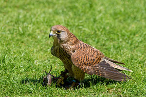 Kestrel (Falco Tinnunculus) by Punt1971