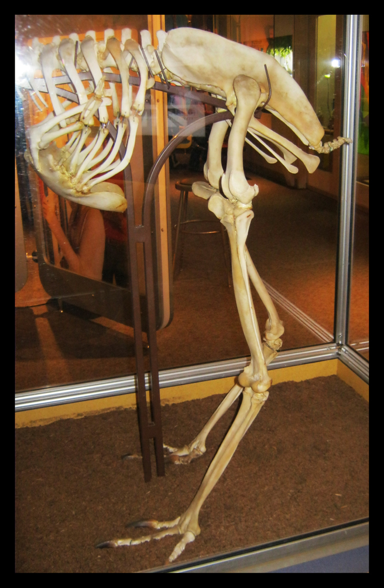 Cassowary skeleton - photo#11
