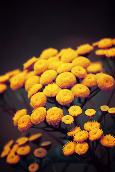 Flower 7.0 by Sed-rah