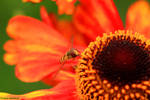 Eating hoverfly by jochniew