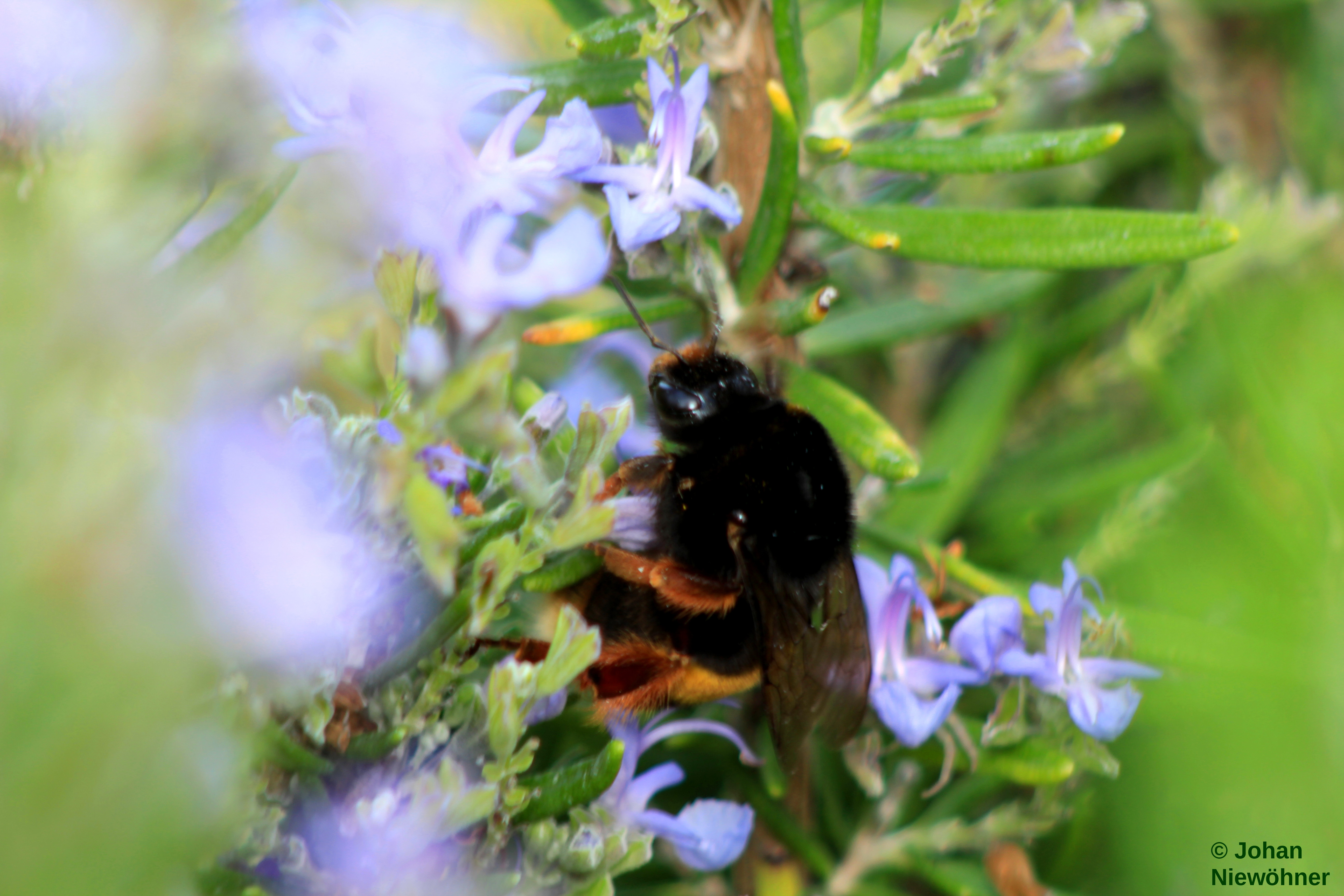 Bumblebee on a Rosemary by jochniew
