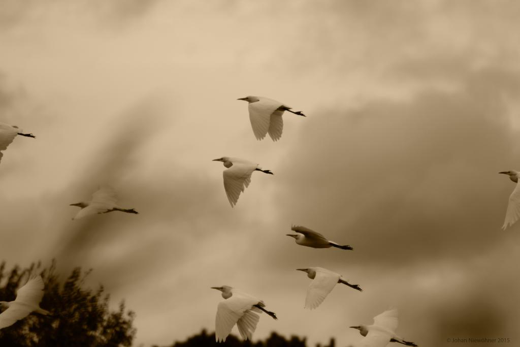 More Ibis