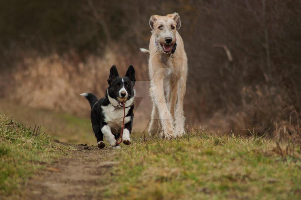 Dog Show Corgi