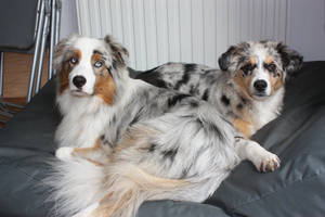 aussies by lindaatje