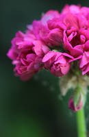 ...Pelargonium... by Egil21