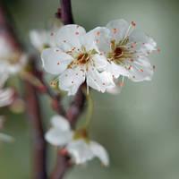 Plum Flowers by Egil21