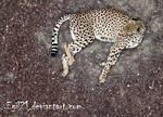 Animalia - Chita