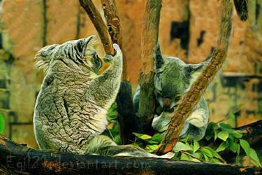 Animalia_Koala