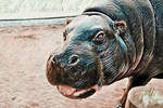 Animalia_Hipopotamo-pigmeu by Egil21