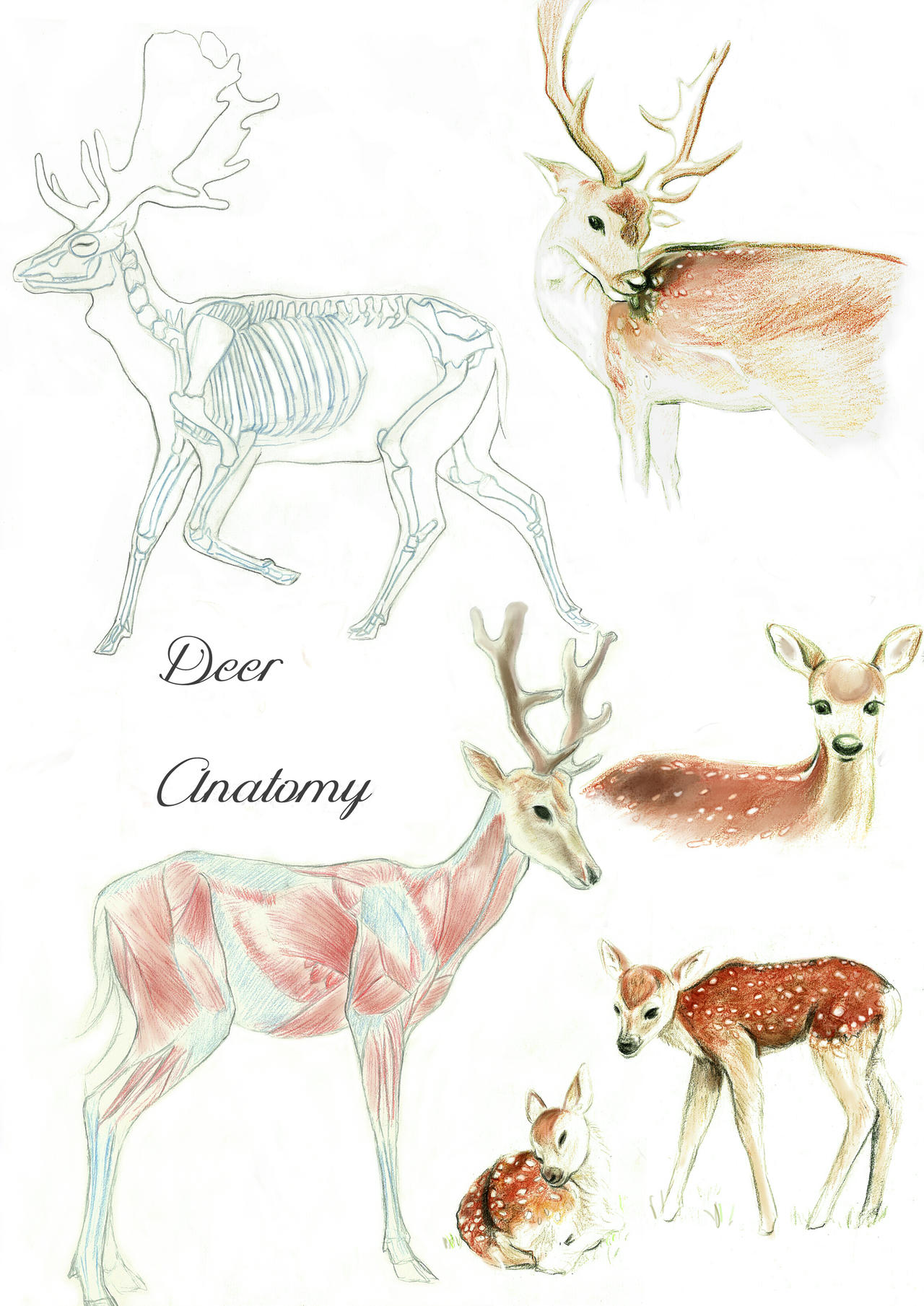 White tail deer anatomy 216005 - follow4more.info