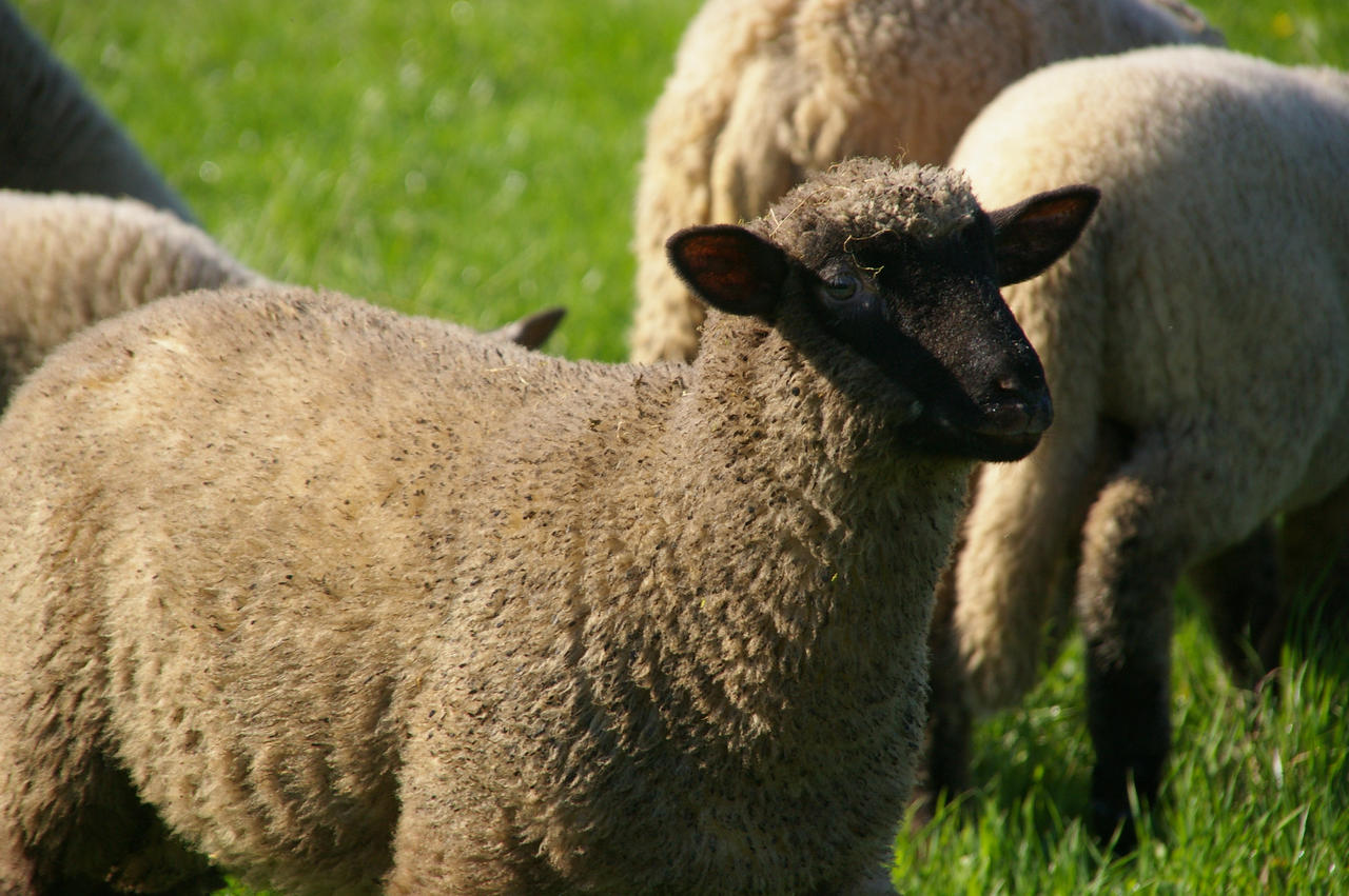 Sheeps by a-kwiatkowski